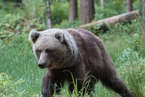 bear watching hide estonia